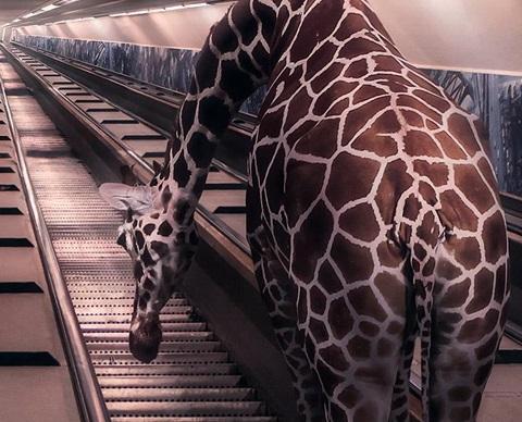 Giantific by Tim Waldekker - Rotterdam - Maastunnel - Giraf