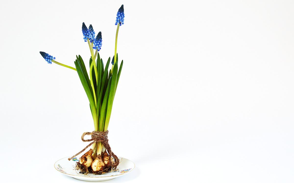 Pärlhyacint